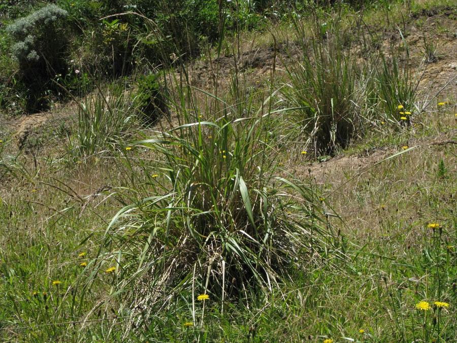 Calamagrostis_nutkaensis_20100611_4718.2