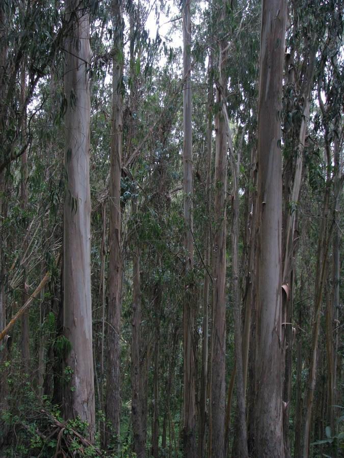 Eucalyptus_globulus_20100712_8077.2
