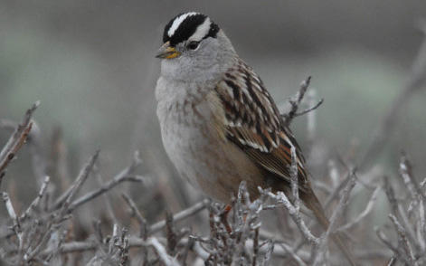 Great bird watching: Nuttall's White-crowned Sparrow