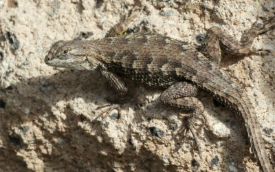Western Fence Lizard and Lyme: The Interesting Connection