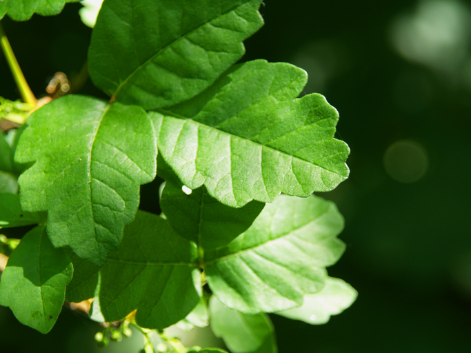 Poison Oak: Part of the Headlands Ecosystem